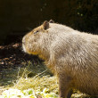 Capybara portrait — Stock Photo