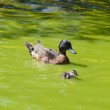 Family of ducks happily swimming in a river of green water — Stock Photo #8757701