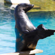 Beautiful sea lion applauding — Stock Photo #8758001