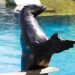 Beautiful sea lion applauding - Stock Photo