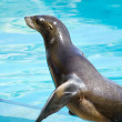 Beautiful sea lion in a natural environment — Stock Photo #8758274