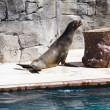 Beautiful sea lion in a natural environment — Stock Photo #8758291