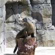 Beautiful sea lion applauding - Foto Stock