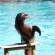 Beautiful sea lion in a natural environment — Stock Photo #8758479