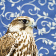 Stock Photo: Peregrine, falcon