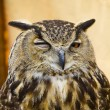 Stock Photo: Owl portrait
