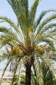 Palm tree in Spain — Stock Photo