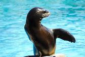 Hayvanlar bir gösteride oynayan güzel deniz aslanı — Stok fotoğraf