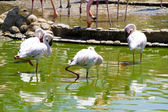 Group of caribbean flamingos on water — Stock Photo