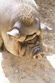 Vietnamese Potbelly Pig on a farm — Stock Photo