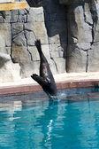 Leoni di mare bellissimi salto in acqua — Foto Stock
