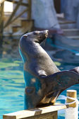 Beautiful sea lion applauding — Stok fotoğraf