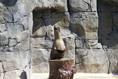 Beautiful sea lion applauding — Stockfoto