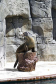 Beautiful sea lion applauding — Photo