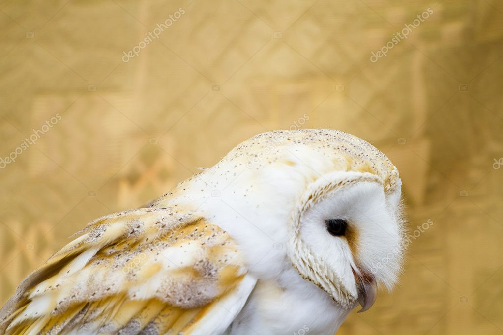 Owl portrait, white bird — Stock Photo #8759413