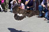 Display of birds of prey, golden eagle — Stock Photo