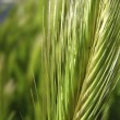 Wheat — Stock Photo #8786802