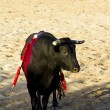 Spanish bull. Bullfight. - Photo