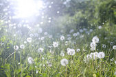 Field of dandelions,blue sky and sun. — Stock Photo