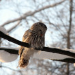 Owl on a tree — Stock Photo #8893318