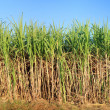 Stock Photo: View of sugarcane plantation