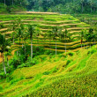 Rice paddy panorama — Stock Photo
