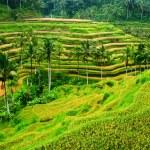 Rice paddy panorama — Stock Photo