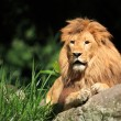 Stock Photo: Lion in wild