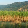 Sugar Cane panorama — Stock Photo