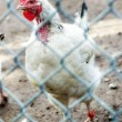 Stock Photo: Caged chicken