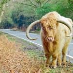 Ginger Highland Cow — Stock Photo #8665775