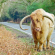 Ginger Highland Cow — Stock Photo