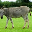 Stock Photo: Grey Donkey watching