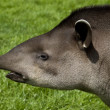 Tapir Profile — Stock Photo