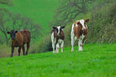 Three Young Cows — Stock Photo