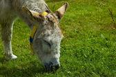White rescue donkey — Stock Photo