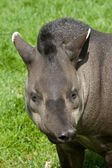 Funny tapir — Stock Photo
