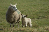 Mother sheep with spring lamb — Stock Photo