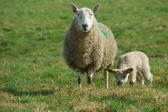 Mother sheep and spring lamb — Stock Photo