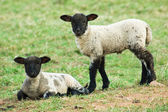 Two spring lambs — Stock Photo