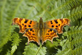 Comma Butterfly — Stock Photo