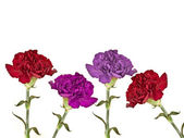 Carnations — Stock Photo