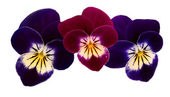 Three pansy heads — Stock Photo