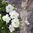 White mirabilis jalapa flowers close-up — Stock Photo