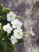 White mirabilis jalapa flowers close-up — Foto Stock