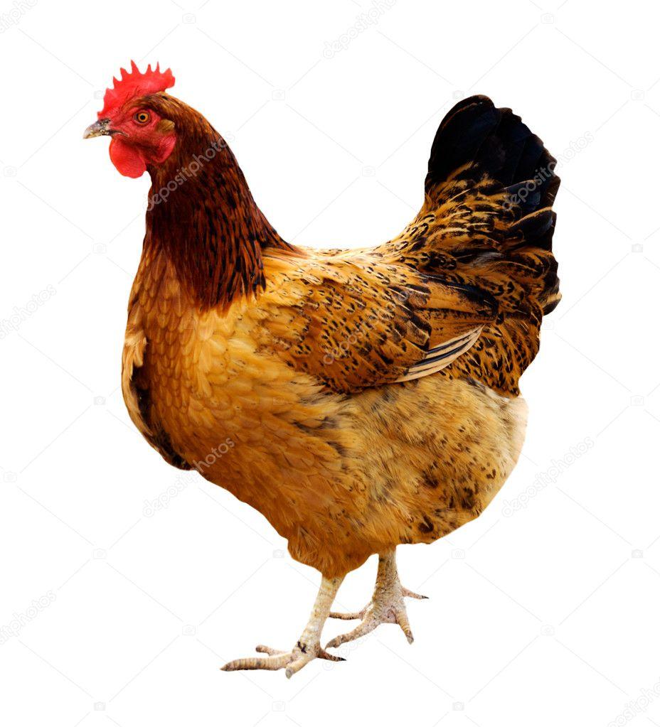 hen isolated on white White Hen