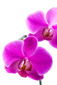 Beautiful Pink Orchid — Stock Photo