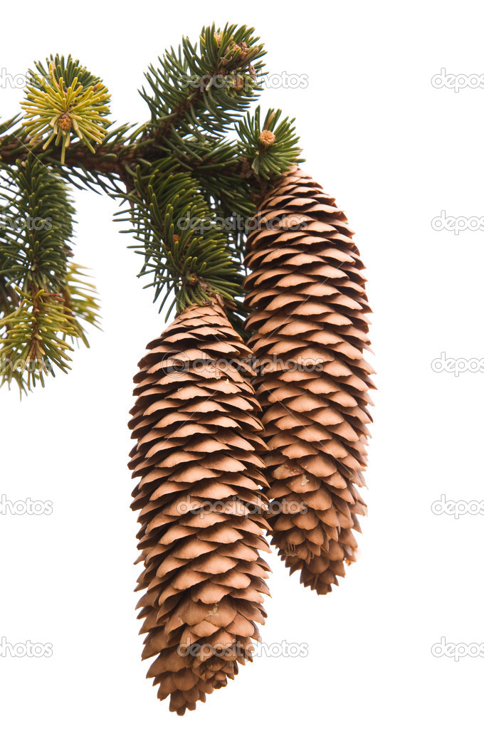 Cones on pine tree branch isolated on white — Stock Photo #8666837