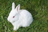 Frontal view of white bunny — Stock Photo
