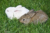 Bunny couple in grass — Stock Photo